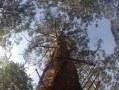 Gloucester Tree, Pemberton